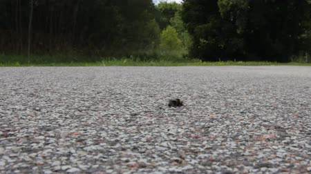 taranmamış : Cold windy autumn day in the forest. Cold-blooded Bumblebee sat on the asphalt road as it warms up well Stok Video