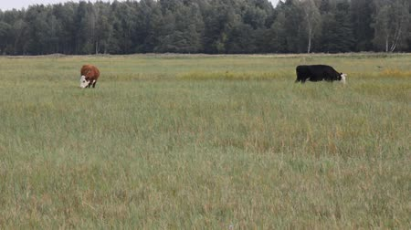 dairy cattle : Cows feed on seaside meadow. Lot of barn swallows flies around cows and catch insects. Ungulates scare insects in grass. Example of biological interaction and commensalism of animals. Baltic sea