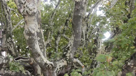 uzun ömürlü : Large old sycamore tree with decaying branches. France
