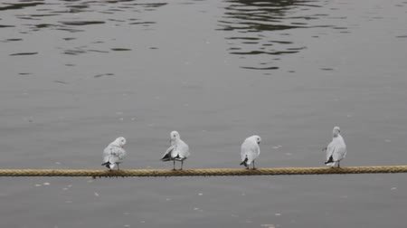 synanthropic animals : Unanimous birds. Four black-headed gulls (in winter plumage) sitting on the mooring rope over the river together and preen their feathers Stock Footage