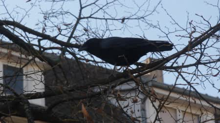 synanthropic animals : black crow caws at the autumn Linden tree without leaves
