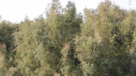 temperada : Shrubs of dry subtropics of the Mediterranean. Tamarix, macchia in Spain. Stock Footage