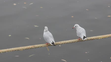 synanthropic animals : Unanimous birds. two black-headed gulls (in winter plumage) sitting on the mooring rope over the river together and preen their feathers