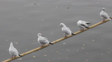 synanthropic animals : Unanimous birds. five black-headed gulls (in winter plumage) sitting on the mooring rope over the river together and preen their feathers