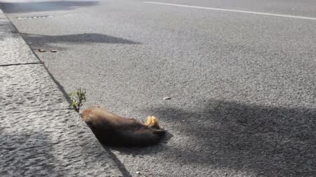 lijk : Stone marten, pine marten (Martes martes) hit by a car on the highway in a small town in the Czech Republic. Car as cause of death of many millions of mammals every year
