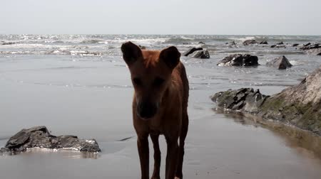 perseguição : Young stray dog on the shore of the Arabian sea