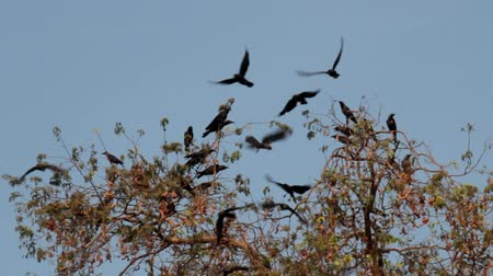 assombro : Many Indian house crows gathered on a tree