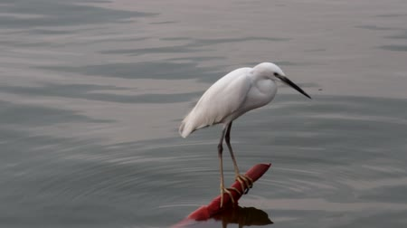 pecker : Snow-white egret sitting on a bamboo pole in the water. Little egret (Egretta garzetta) in India, Goa