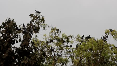 rock dove : Multiplication blue rock pigeons seated on the horizontal branches of the plane tree. India