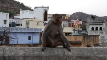monkey : Rhesus monkey on the city wall in an old town, old Indian town in the foothills of the Himalayas