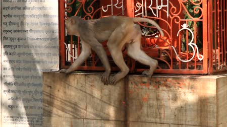 thieve : Macaque monkey is trying to steal something out of barred box but lacks length paws, then animal will take stick. Similarity of behavior of apes and humans, animal behavior (ethology)