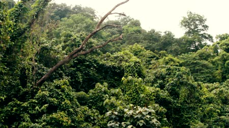 virgin forest : Tropical rain forest to appeal to the Indian ocean slopes of the mountains Western Ghats, Goa and Kerala. Lush greenery and many vines, biocenosis in tropics, mountain forests