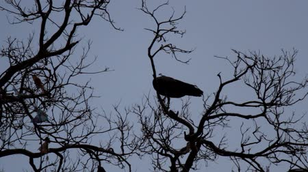 paw : Peacock with a luxurious crest on a bare winter tree with Buddhist offerings. Silhouette of a bird against the sky