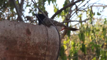 певчая птица : Birds Of India. Central Indian red-vented bulbul (Pycnonotus cafer humayuni). The bird eats from the original bird feeder (bottom of the clay pot) in the village Khajuraho
