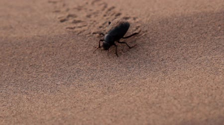 bionomics : Early morning in the desert. Wet darkling beetle (Blaps gigas) plastered with sand and cleans the backwith legs. Beetle runs through the sand leaving a chain of tracks, close-up