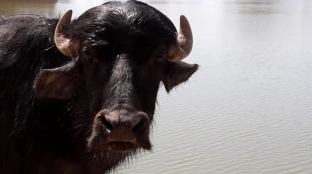 búfalo : Young Indian water Buffalo, portrait of wet animal just entered from the river