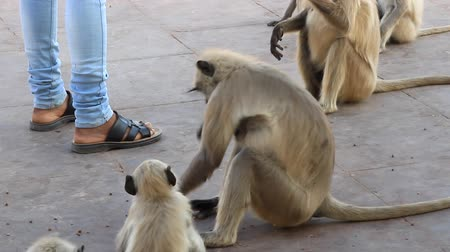 monkey temple : Indian feeds a pack of sacred monkeys. Langurs constantly live near the sanctuaries and are always full. Animal that is accorded veneration, sacred animal