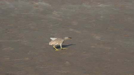 žába : Paddybird (Ardea grayii) hunting for crabs at low tide. Myriad crabs are fed on the beach. The Heron carefully creeps up (slow motion) to the victim and grabs it with bill