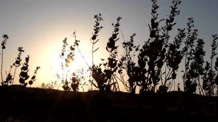 grit : Great Indian desert (Thar) at sunset. The disc of the sun is visible through the green bushes of the Sodom Apple