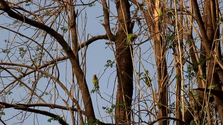 valoun : A flock of Kramer parrots feeds in the floodplain forest at winter. India Dostupné videozáznamy