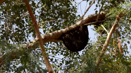 great indian desert : Swarm of Indian great bee (Apis dorsata) on tree at height of 10 meters. Bees heavily covered honeycomb in the shape of beard with length of about half meter - meter - open colony Stock Footage