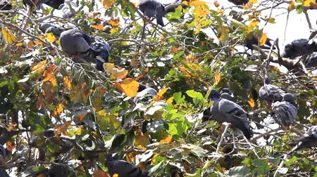 uzun ömürlü : Multiplication blue rock pigeons seated on the horizontal branches of the plane tree. India