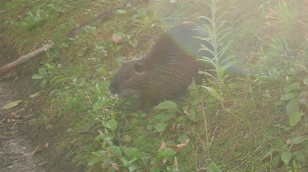aqueous : nutria (Myocastor coypus) eats green vegetation in the meadow