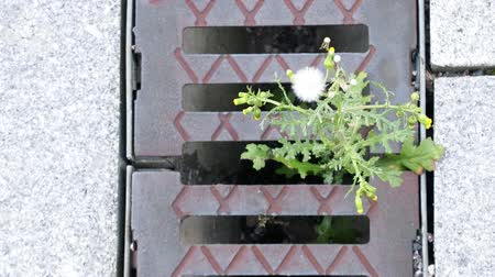 yaşama gücü : Thistle sprouted through grate of spillway on side of highway. Power of life in lifeless city concept. Biblical concept: on the land of my people will grow thorns and thistles