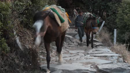 himalája : India, Dharamsala - March 10, 2018: On a mountain path. wayfarers from the city or mountain village (Highlanders) down the valley, their mule is light, as the goods left in village Stock mozgókép