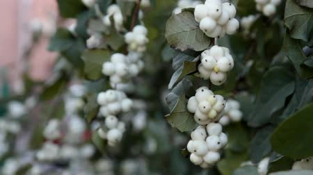 horticulture : Autumn in the city. Waxberry (Symphoricarpos albus) beautiful fruits, whips round white berries in abundance, passers-by and cars moving past. Decorative bush, city gardening Stock Footage