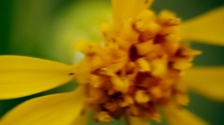 toendra : In bowels of yellow. Visible stamens large. Macro video Stockvideo