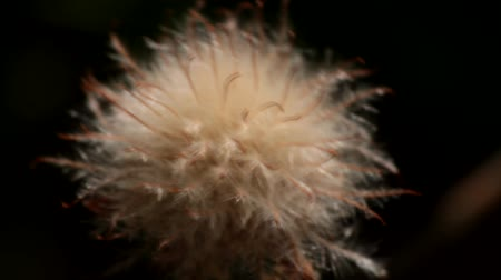 pelyhes : Seed inflorescence looks shaggy, with a lot of plant fluff, like salsify, goats-beard. Shaggy ball, fur ball. Macro video