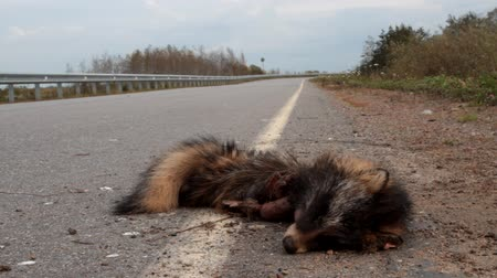 raccoon : A car hit a raccoon dog on the highway. Dead animal close-up. The sad death in autumn day. Cars as a cause of death of tens and hundreds of millions of mammals annually