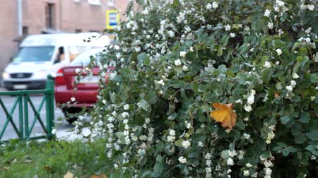 열매 : Autumn in the city. Waxberry (Symphoricarpos albus) beautiful fruits, whips round white berries in abundance, passers-by and cars moving past. Decorative bush, city gardening 무비클립