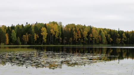softwood forest : Rich range of colors of autumn forest on the shore of a quiet lake in light fog, tree reflections in water. The nostalgia of the autumn days in North taiga Stock Footage