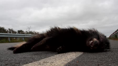adversidade : The grin of death. This Racoon dog (Nyctereutes procyonoides) was hit on the highway by a car. Car as a cause of death of different species of animals