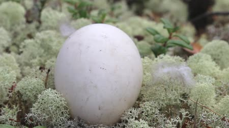 egg laying : Guide to bird nests. The egg of the wild goose (Bean goose, Anser fabalis) lies on the carpet of white elegant deer moss in the pine forest. Stock Footage