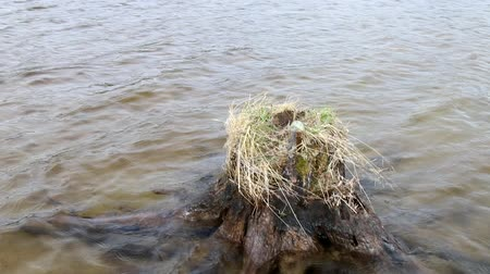 embreagem : Birds nests guide. Amazing Seagull (Common Gull, Larus canus) nest on a stump that stands in the water Stock Footage