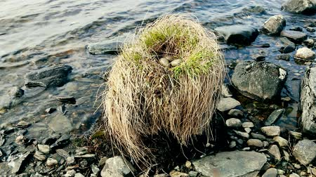 kavrama : Birds nests guide. Amazing Seagull (Common Gull, Larus canus) nest on a stump that stands in the water Stok Video