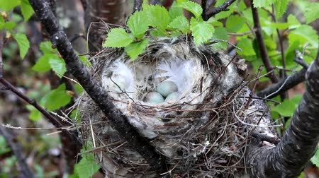 oco : Birds nests guide. Cozy Arctic redpoll (Acanthis hornemanni) white nest in birch tree among the scale lichen. The nesting hollow is lined with partridge feathers. Lapland Stock Footage