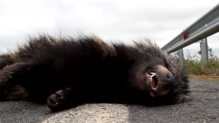 逆境 : The grin of death. This Racoon dog (Nyctereutes procyonoides) was hit on the highway by a car. Car as a cause of death of different species of animals