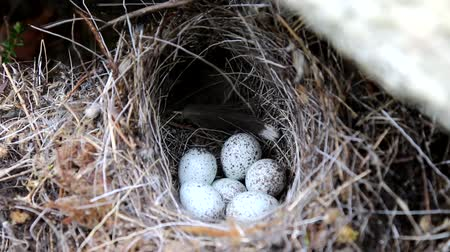 bird learning : Guide to bird nests. The white Wagtails nest (Motacilla alba) under a stone. Clutch of small bird is made of thin blades of grass, six very speckled tiny eggs