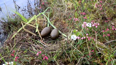 ornitologie : Birds nests guide. Nest of red-throated Loon (Gavia stellata) on swampy lake. Nest at waters edge, surrounded by flowering cloudberry (Rubus chamaemorus), bog rosemary (Andromeda polifolia). Lapland