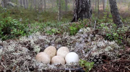 arctic tundra : Unusual for geese nest in forest. Forest-breeding bean goose (Anser fabalis fabalis) nest is arranged in old pine forest on top of moraine among white deer moss. Lapland. Camera wiring to forest
