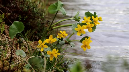 csöves virág : Yellow Northern swamp flowers cowslip swaying in the wind on the shore of the lake. Marsh marigold (Caltha palustris) from Lapland. Northern flora