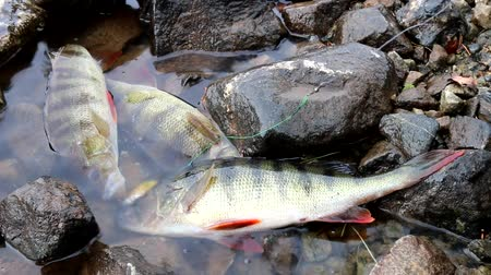 passatempos : Good bass from the Northern river in the stone live fish well. Early Spring Fishing for perch spinning on the rotating spinner (trolling)