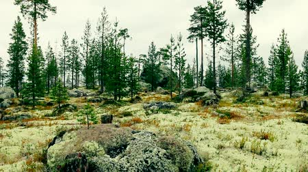 liken : Northern light coniferous forest on the glacial moraine. Huge erratic blocks are visible on top and white reindeer moss prevails, lichen pine forest. Glacial relief. Lapland. Scandinavia Stok Video