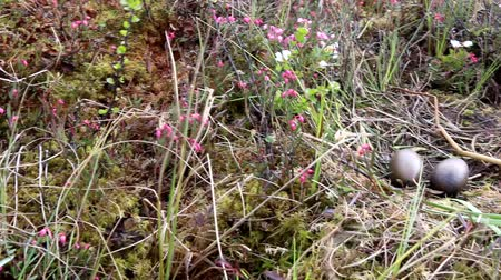ingovány : Birds nests guide. Nest of Red-throated Loon (Gavia stellata) on swampy lake. Nest at waters edge, surrounded by flowering bog rosemary. Camera wiring from tundra through birds nest to water