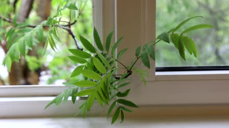sorbus : Its spring. A Rowan branch hangs in the room through the window, vernal aspect, spring rainfall, home environment