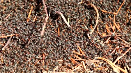 anthills : Dense cluster of red forest ants. The brown Bear unearthed the anthill and ate the ants and larvae. The remaining ants to urgently fix your house
